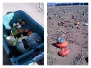 Craig and I picked our own back in 2009. I had never done my own picking of pumpkins, so we made a weekend of it.